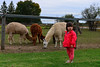 Leah at the farm : We recently found this small local farm just up the road on Anderson. They have lamas, ducks, chickens, and sheep.
